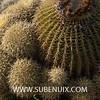 Echinocactus grussonii-7 (SUBENUIX) Tags: cactaceae echinocactusgrussonii suculentas subenuix subenuixcom planta suculent suculenta botanic botanical
