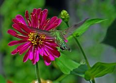 Remembering summer (mariposa lily) Tags: zinnia zinnias flower flowers blossom blossoms bloom blooms pink green hummingbird hummingbirds hummer hummers gardengardening gardenflower gardenflowers sony sonycybershotdschx100 sonycybershotdschx100v cybershot dschx100 cybershotdschx100vdschx100dschx100vhx100hx100v