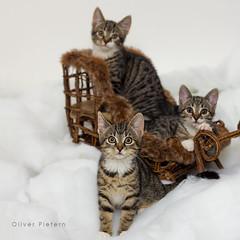 happy catmas 2017 (Oliver Pietern) Tags: cat kitty cute kawaii aww pet soft adorable tiger animal feline neko