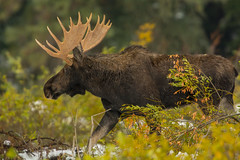 Dashing through the snow (ChicagoBob46) Tags: bullmoose moose yellowstone yellowstonenationalpark nature wildlife rut coth5 ngc npc