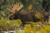 Dashing through the snow (ChicagoBob46) Tags: bullmoose moose yellowstone yellowstonenationalpark nature wildlife rut coth5 ngc npc