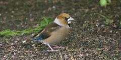 Picogordo (coverkill) Tags: aves navarra ciudadela 2017 naturaleza