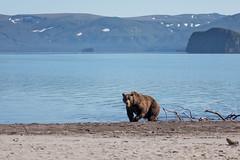 Kamchatka Brown Bear (Leif Jönsson) Tags: rysslandkurillake bear brownbear kamtjatkakraj ryssland ru kamtjatka brunbjörn kamtjatkabjörn russia wildlife travel wildnature salmon september kamchakta kamchatkabrownbear kamtjaktabrunbjörn