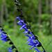 Hot Springs - Sage in Dark Blue