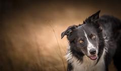 Part of the Pack (JJFET) Tags: border collie dog sheepdog herding