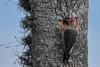 Boring (Hammerchewer) Tags: redbelliedwoodpecker bird male nest palm wildlife outdoor
