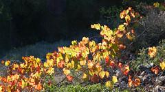 Vines, Sentier des Goules, Narbonnaisse Regional Park, Gruissan (Niall Corbet) Tags: france occitanie languedoc roussillon aude narbonnaise regionalpark parcnaturelregional gruissan sentierdesgoules vine vineyard