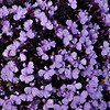 Fall Chorus (Insearchoflight) Tags: violets flora floraandfauna naturephotography waynespics waynenorman insearchoflight captaindelightful stjohnsnl canada viola plants