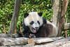2017-04-05-Pairi_Daiza-0461.jpg (BZD1) Tags: giantpanda ailuropodamelanoleuca ursidae nature pairidaiza reuzenpanda carnivore mammal animal brugelette wallonie belgië be