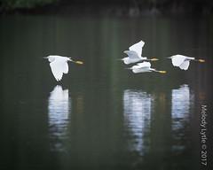 Snowy Egret (karenmelody) Tags: animal animals ardeidae bird birds caroniswamp egret egrets egrettathula location pelecaniformes snowyegret trinidad vertebrate vertebrates