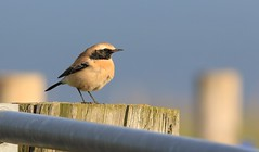 First on the 1st ............... (nick.linda) Tags: desertwheatear oenanthedeserti wheatear whitby northyorkshire coast wildandfree canon7dmkii sigma150600c newyearsday
