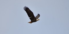 Bald Eagle on the Bay (Hollingsworth18) Tags:
