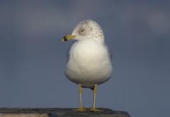 Ring-billed Gull (6) (Jerry Ting) Tags: arrowheadmarsh martinlutherkingjrregionalshoreline oakland california ebparksok ringbilledgull 2018bigyear