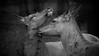 togetherness (ddimblickwinkel) Tags: nikon tamron tele d810 bw sw blackandwhite schwarzundweiss black white schwarz weiss animal wild natur art bea