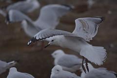 Silver Gulls (Luke6876) Tags: silvergull gull bird animal wildlife australianwildlife