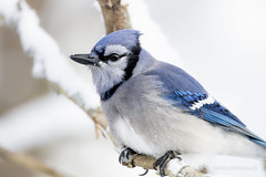 Blue Jay on a Snowy Day (sfdonald) Tags: bluejay charaazul cyanocittacristata geaibleu jay snow winter