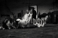 ¿Quién anda ahí? (arapaci67) Tags: cat canon canon70d iso1600 místico nature animales compañero villanuevadelareina jaen andalucía españa rural ruralphotos vacaciones gatos