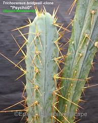 """Trichocereus bridgesii variety-clone """"Psycho0"""" (Pic #1) (mattslandscape) Tags: trichocereus bridgesii variety psycho0 psychoo pshyco plant cactus cacti kakteen plants rareplants clone hybrid"""