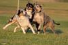 The Three Horsemen (Jasper's Human) Tags: aussie australianshepherd dog play