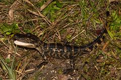 American Alligator (amdubois01) Tags: alligator alligatormississippiensis americanalligator florida unitedstates usa