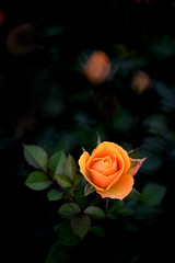 Roses 玫瑰 (MelindaChan ^..^) Tags: flower plant yellow chanmelmel mel melinda melindachan petal roses 玫瑰macau