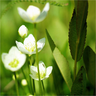 parnassia flowers.............