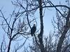 Bow River Bald Eagle (benlarhome) Tags: calgary alberta canada bowriver