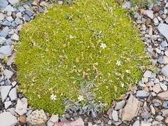 Eremogone capillaris 美丽老牛筋 (小铖smalltown) Tags: eremogone caryophyllaceae
