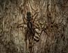 Gnaphosidae? (dustaway) Tags: arthropoda arachnida araneae araneomorphae gnaphosidae lamponidae australianspiders tullerapark tullera northernrivers nature nsw australia