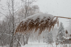 (A Great Capture) Tags: snowing flakes tree trees dorest eos digital dslr lens canon 70d natur nature naturaleza natura naturephotography naturethroughthelens cold snow weather agreatcapture agc wwwagreatcapturecom adjm ash2276 ashleylduffus ald mobilejay jamesmitchell toronto on ontario canada canadian photographer northamerica torontoexplore winter l'hiver 2017 wild outdoor outdoors neige schnee park parc taylor massey creek