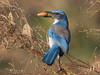 Brilliant blue Scrub Jay (alicecahill) Tags: jay california usa wild ©alicecahill sanluisobispocounty bird centralcoast scrubjay animal atascadero atascaderolake