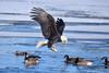 American Bald Eagle Fish Check [3039] (cl.lin) Tags: iowa mississippiriver leclaire lockanddam14 americanbaldeagle eagle nature
