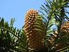 Large cycad fruits (Lesley A Butler) Tags: australia garden melbourne royalbotanicgardens summer victoria