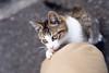田代島 ネコ (GenJapan1986) Tags: 2017 ネコ 動物 宮城県 田代島 石巻市 離島 日本 japan miyagi cat animal island tashirojima nikond610