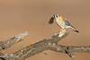 American Kestrel (Falco sparverius) (www.NeotropicPhotoTours.com) Tags: falcosparverius americankestrel raptorsofusa usa birdofprey juancarlosvindas neotropicphototours birdphotography tours expeditions birdwithmouse prey raptor perching hunting lastlight afternoon