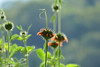 Leonotis nepetifolia, also known as klip dagga (yago1.com) Tags: permatree ecuador nature permaculture tropical zamorachinchipe