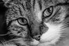 Creedence in greys (NikNak Allen) Tags: cat pet animal portrait mouth nose eyes whiskers fur pupils light shadow tabby silver stripes face close macro look pretty beautiful