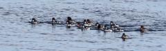 Garrot d'Islande_070A9104 (d.jauvin) Tags: québec canard plongeur garrot
