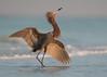 Reddish Egret (PeterBrannon) Tags: bird dancer egrettarufescens florida hunting nature pose reddishegret reflection surf water wildlife ocean