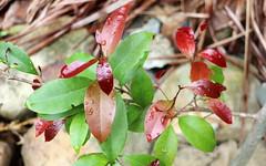 Yellow Laurel (Cryptocarya bidwillii) (Poytr) Tags: cryptocarya lauraceae cryptocaryabidwilli rnrfgdb leaves redleaves newgrowth arfp nswrfp qrfp yellowlaurel leaf rnrfgdbarfp tropicalarf redandgreen