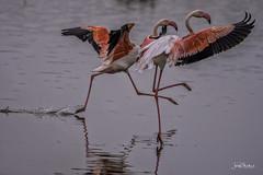Dancing in the water (iosif.michael) Tags: nikon tamron wildlife birds flamingos biodiversity cyprus lake water
