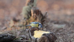 Menù del giorno: Polenta e Oseï  😅 (carlo612001) Tags: polenta uccelli bird birds polentaeoseii wood nature friend cute lovely bergamo cucina animali slowfood joke smail