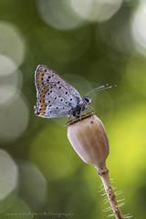 Lycaena Tityrus (Samuele81) Tags: lycaena tityrus farfalla fotografia fotografianaturalistica farfalle flight freedom foto butterfly natura nature nikon ngc nikonnaturephotography
