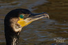 Cormorant (Paul S Wharton) Tags: cormorant bird craigavon lakes northern ireland water canon 7d 100400