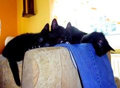 Die Meute hat sich ausgetobt (michaelschneider17) Tags: tiere natur haustiere katzen