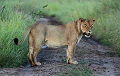 """Lassie! What's up girl? You want us to follow you?"" (zimbart) Tags: mozambique africa gorongosanationalpark fauna vertebrata mammals carnivora felidae panthera pantheraleo"