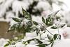 Snow and Ivy (s.d.sea) Tags: pentax k5iis plants nature plant green garden macro washington washingtonstate pnw pacificnorthwest king county seattle eastside winter snow christmas issaquah klahanie sammamish december