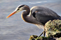 Happy great new blue heron year (TJ Gehling) Tags: bird ardeidae heron greatblueheron ardea ardeaherodias richmondmarina marinabay richmondca