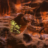 Resilient (Joaquin James Javier) Tags: zion narrows tree fall abstract glow light bounce wall