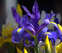 The Iris Party (Scott 97006) Tags: iris flower nature plant beautiful colors bokeh pretty petals